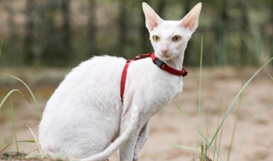 kedi-cinsleri-ve-ozellikleri-025.jpg