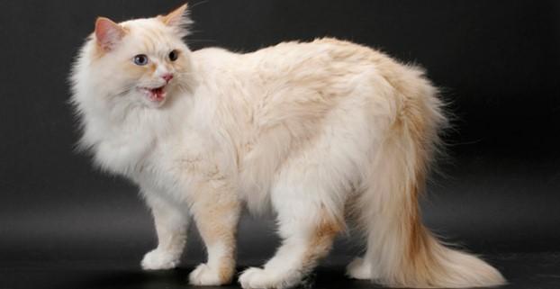 kedi-cinsleri-ve-ozellikleri-026.jpg