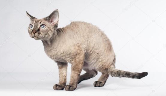 kedi-cinsleri-ve-ozellikleri-027.jpg