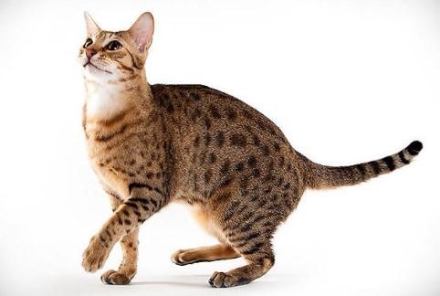 kedi-cinsleri-ve-ozellikleri-028.jpg