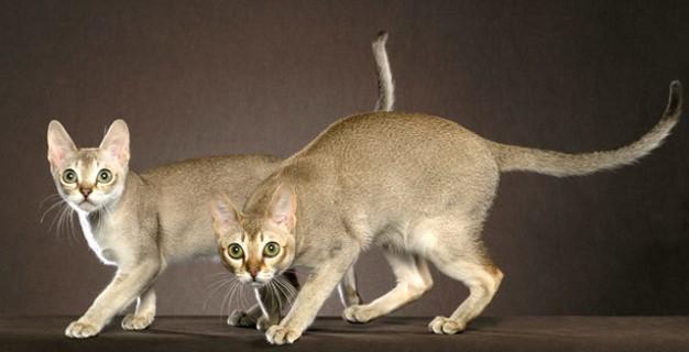 kedi-cinsleri-ve-ozellikleri-029.jpg