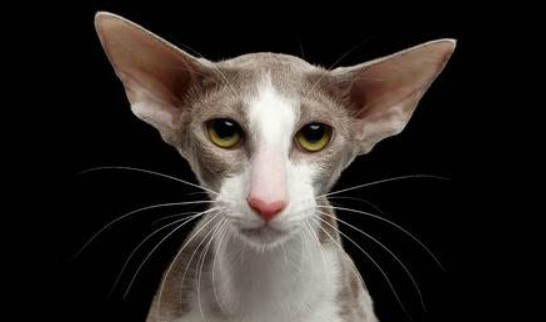 kedi-cinsleri-ve-ozellikleri-031.jpg
