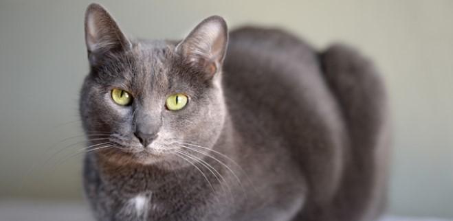 kedi-cinsleri-ve-ozellikleri-033.jpg