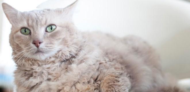 kedi-cinsleri-ve-ozellikleri-034.jpg