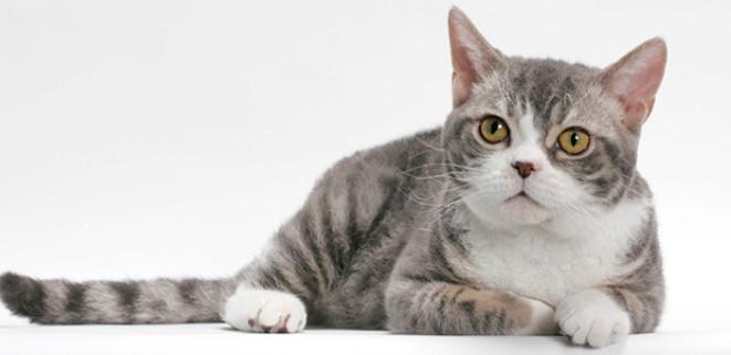 kedi-cinsleri-ve-ozellikleri-035.jpg