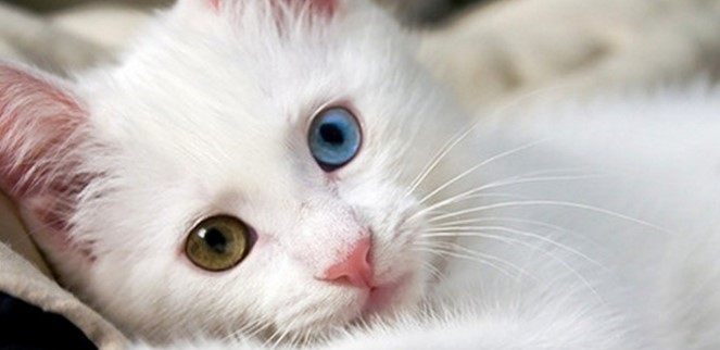 kedi-cinsleri-ve-ozellikleri-036.jpg