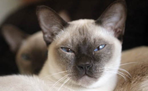 kedi-cinsleri-ve-ozellikleri-037.jpg