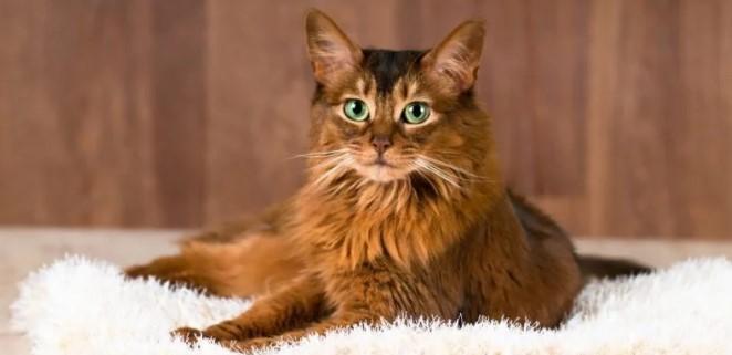 kedi-cinsleri-ve-ozellikleri-038.jpg