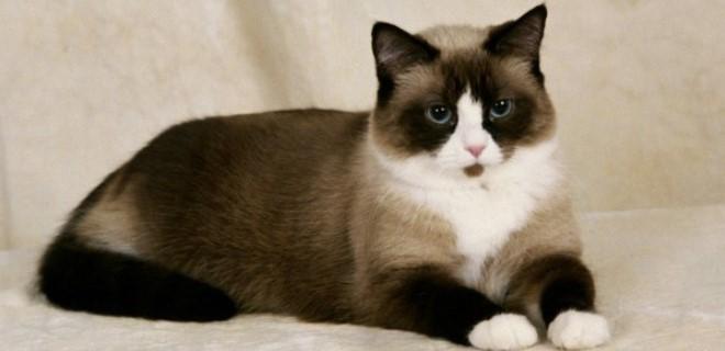 kedi-cinsleri-ve-ozellikleri-042.jpg