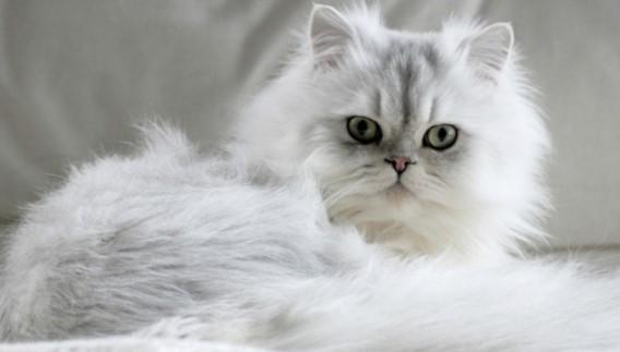 kedi-cinsleri-ve-ozellikleri-043.jpg