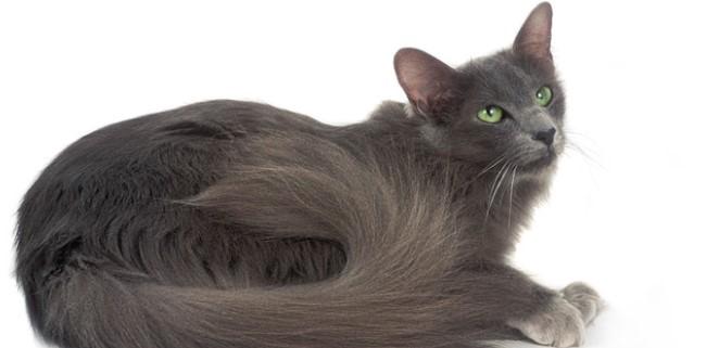 kedi-cinsleri-ve-ozellikleri-045.jpg