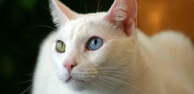 kedi-cinsleri-ve-ozellikleri-046.jpg