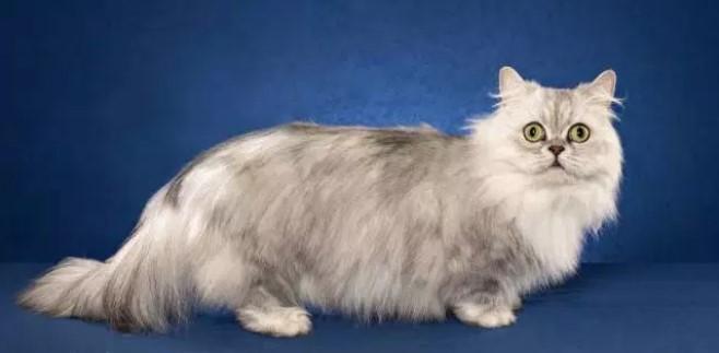 kedi-cinsleri-ve-ozellikleri-047.jpg
