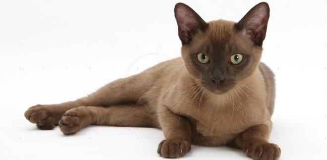 kedi-cinsleri-ve-ozellikleri-050.jpg