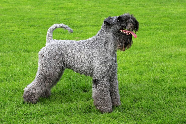 kerry-blue-terrier.jpg