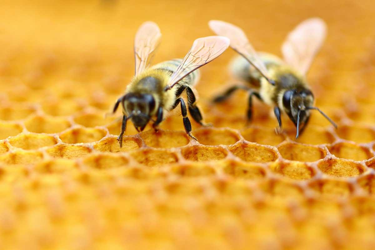 koku duyusu ve arılar