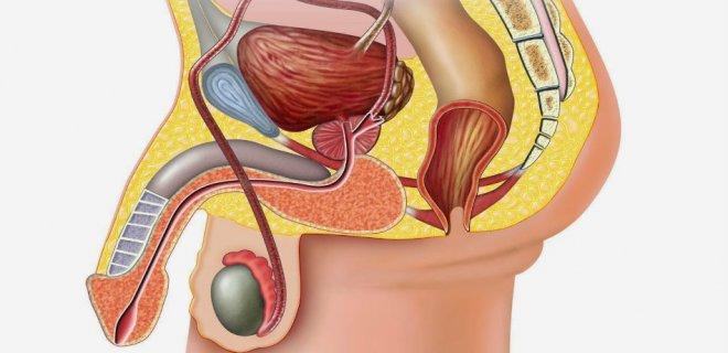 korelmis-organlar.jpg