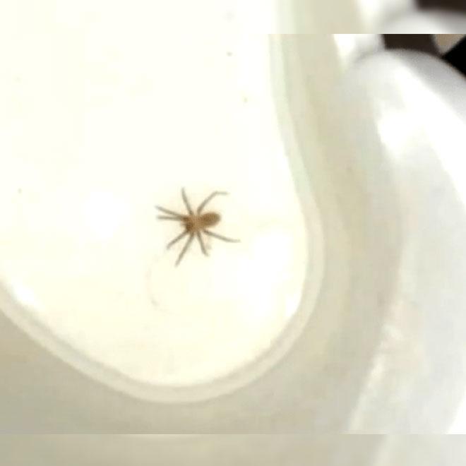 Kulağından Zehirli Örümcek Çıktı