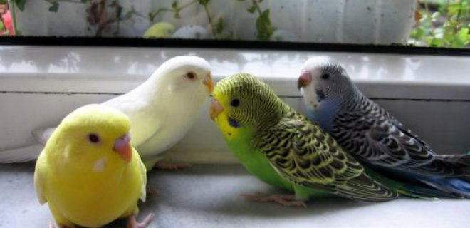 Muhabbet Kuşlarında Görülebilen Hastalıklar