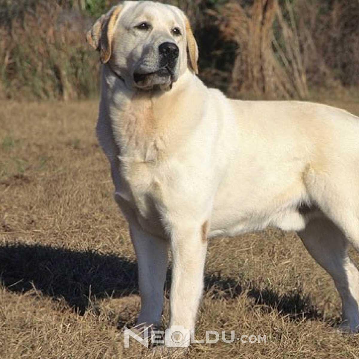 Labrador Retriever Köpek Cinsi