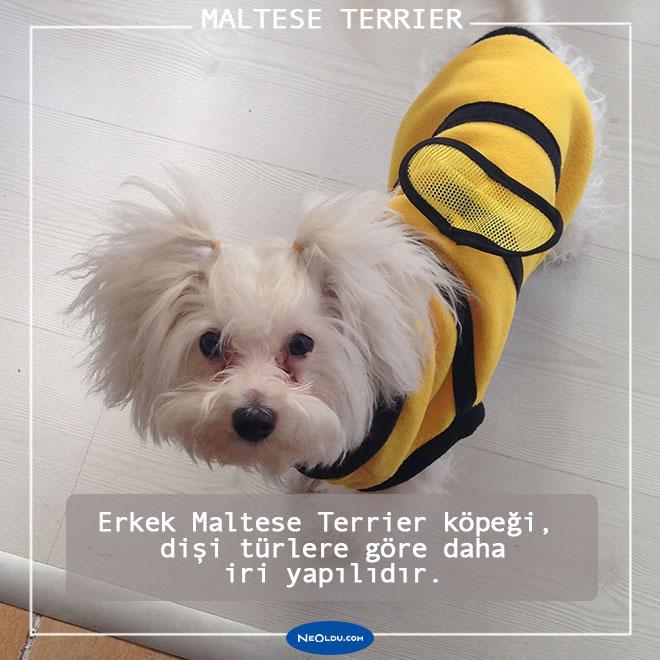 Maltese Köpeği