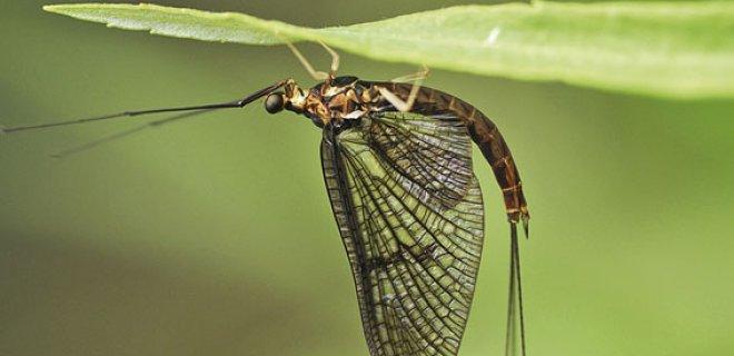 mayıs sineği