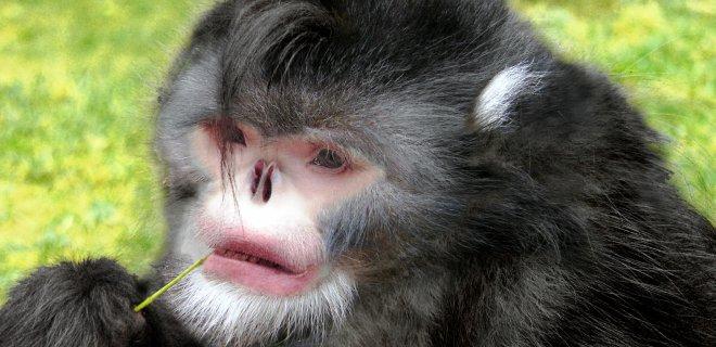 insan yüzlü maymun
