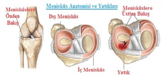 meniskus-anatomisi.png