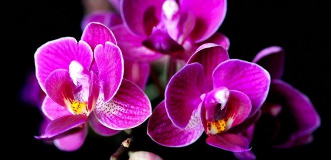 mor-orkide.jpg