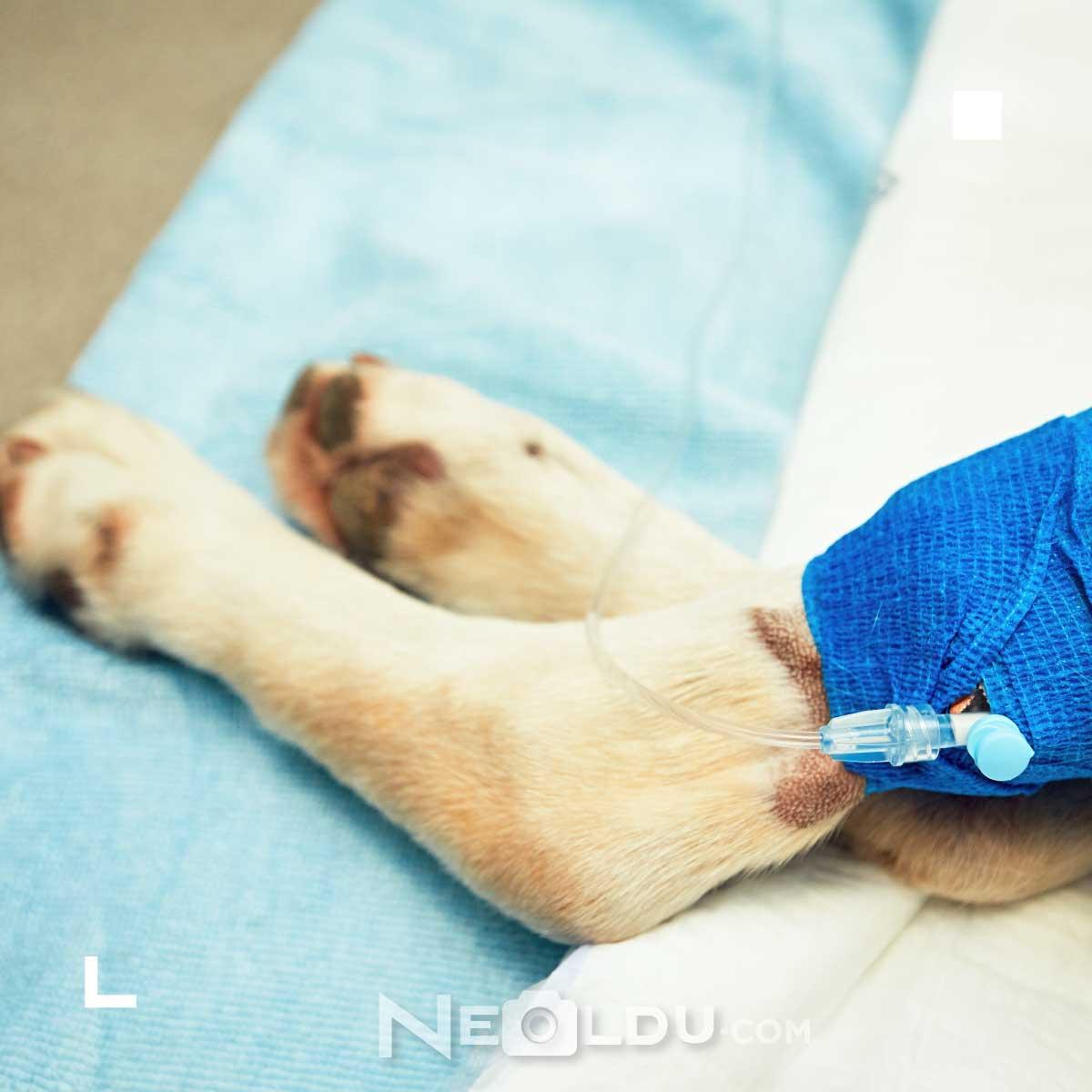 MSM Nedir Köpeklerde Eklem Kas Gelişimi