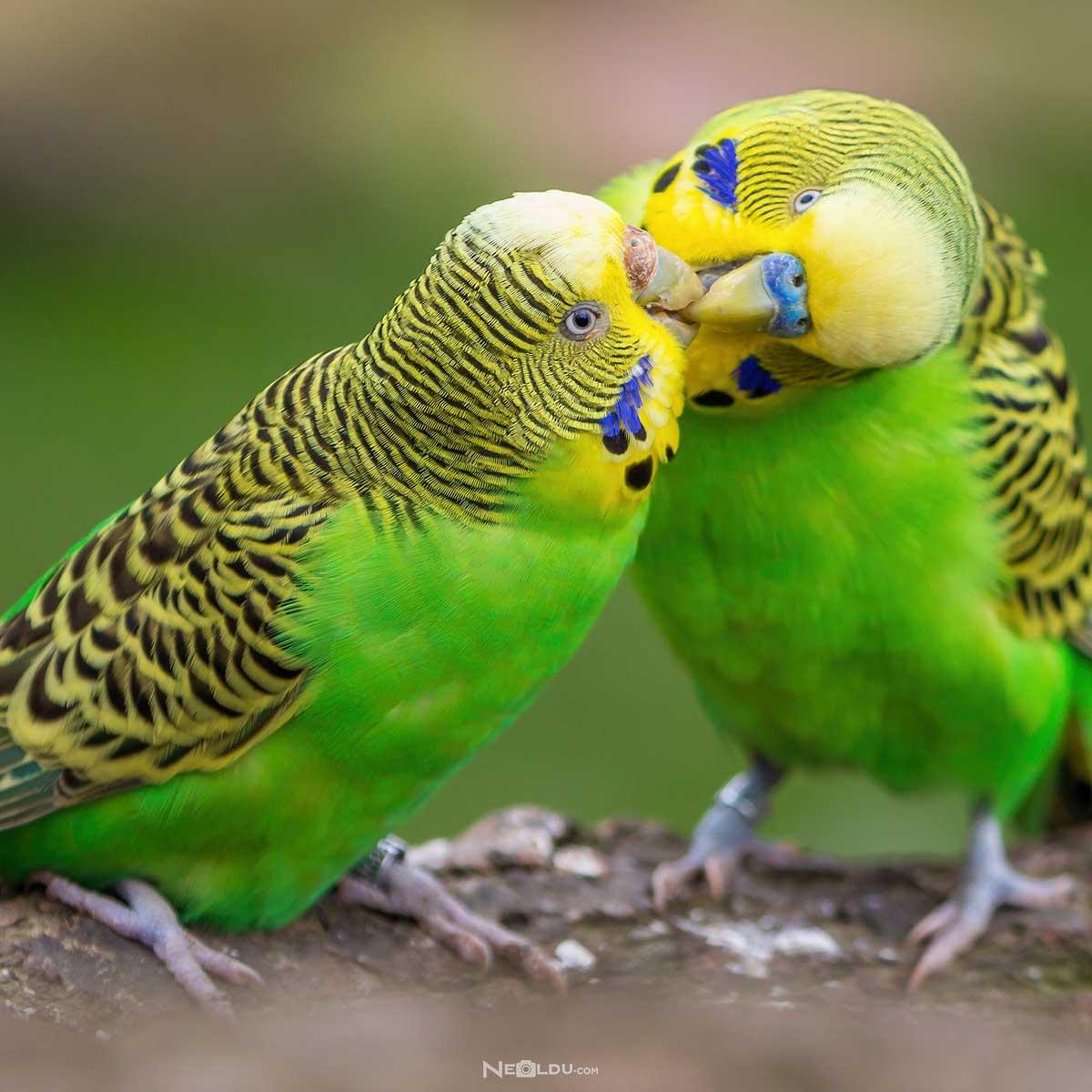 Muhabbet Kuşu Sağlığı