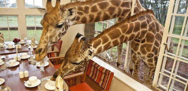 nairobi zürafa kahvaltı