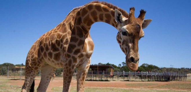nairobi zürafa