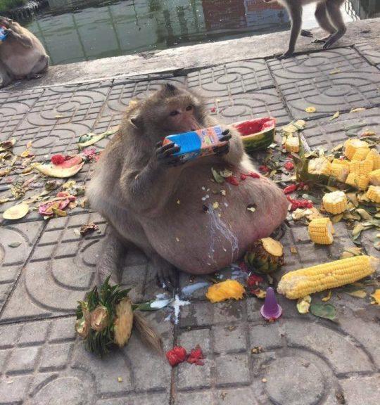 Obez Maymun Şişman Amca