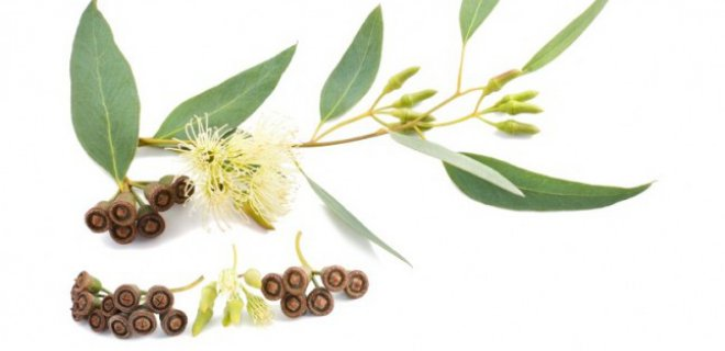 okaliptus-bitkisi.jpg