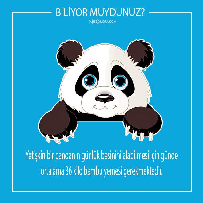 pandalar-hakkinda-inanilmaz-bilgiler-11.jpg