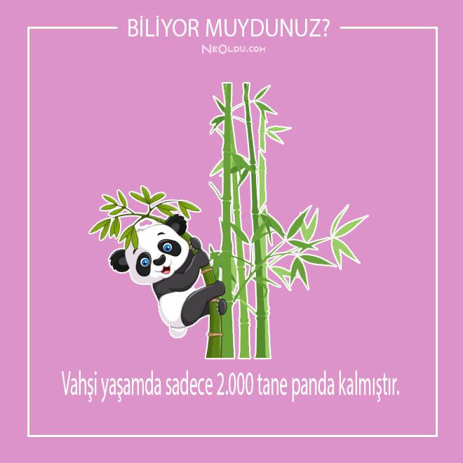 pandalar-hakkinda-inanilmaz-bilgiler-2.jpg