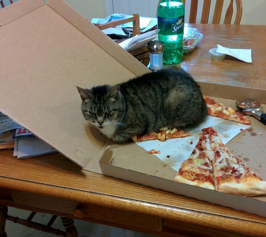 pizzaya oturan kedi