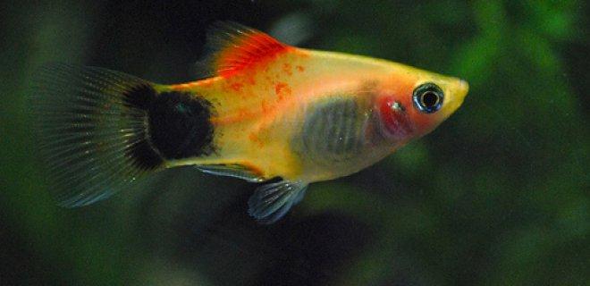 Plati Balığı Akvaryumu Nasıl Olmalı?