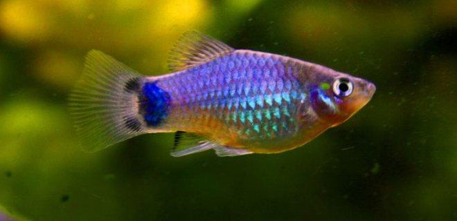 Plati Balığı Cinsleri