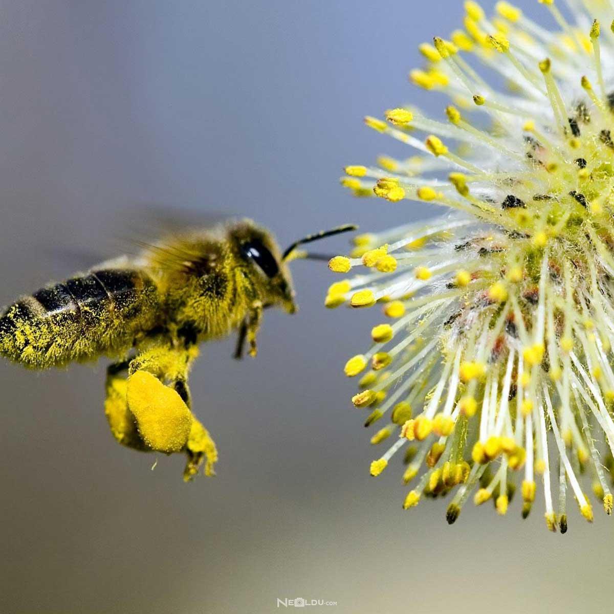 polen-nasil-kullanilmalidir.jpg