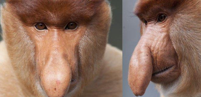 proboscis-maymunu.jpg