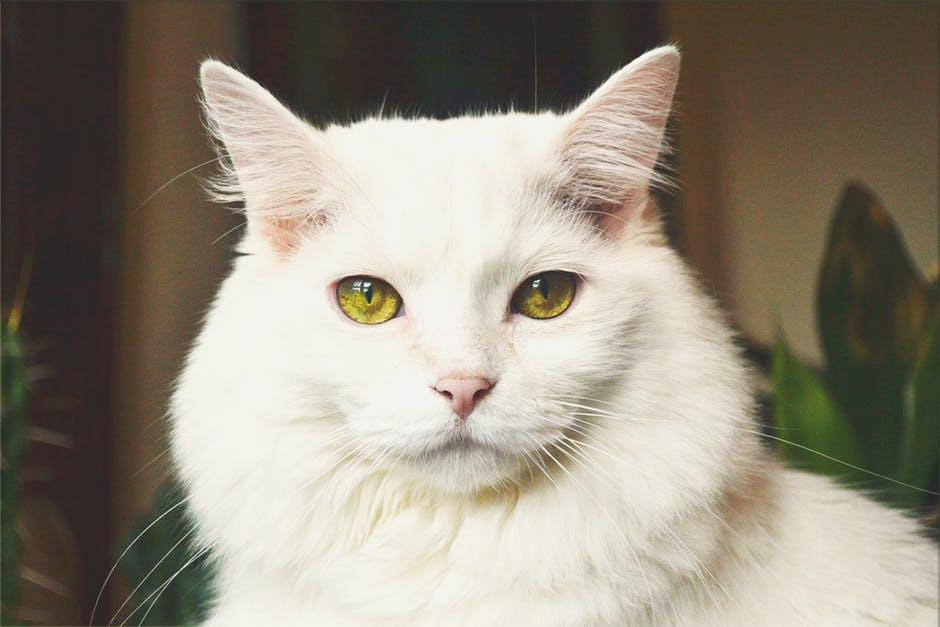 ruyada-beyaz-kedi-gormek.jpeg