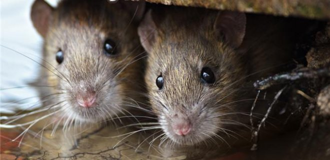 rüyada küçük fare görmek