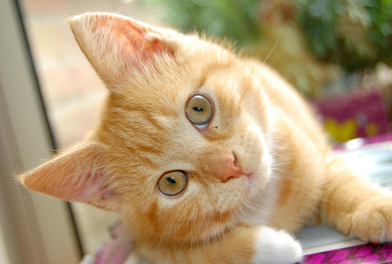 Kediler için ne rüya var: ilginç araştırma