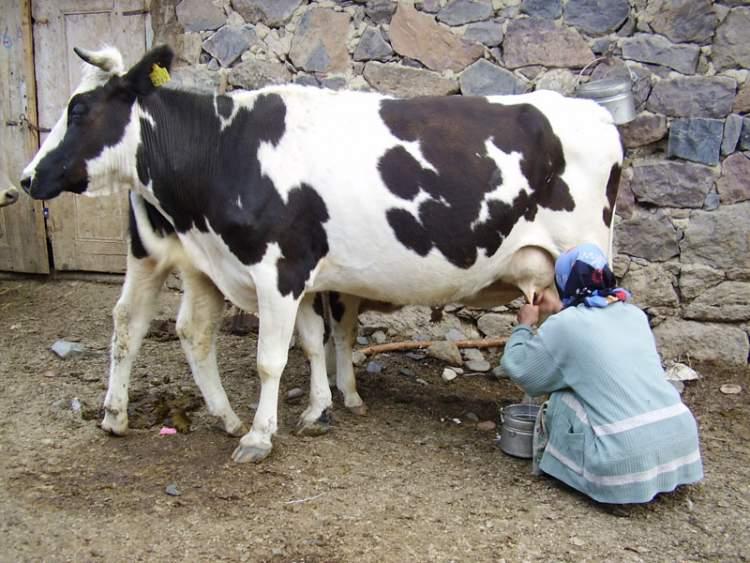 rüyada süt sağdığını görmek