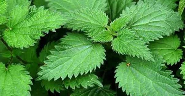 saç ve saç derisi faydalı bitkiler