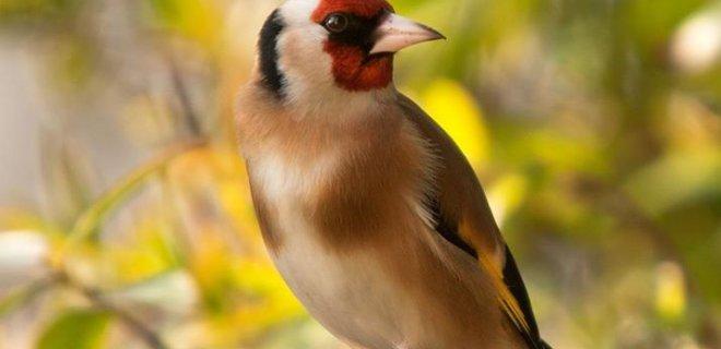Saka Kuşu Özellikleri