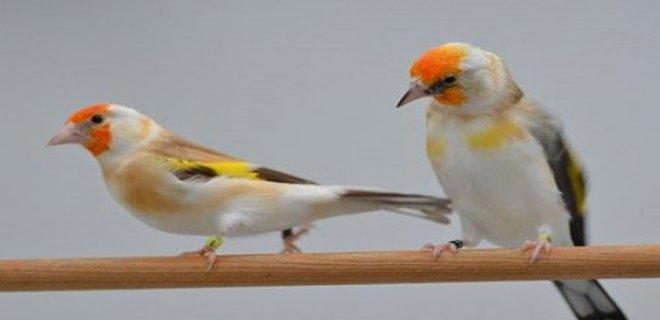 Saka Kuşlarının Beslenmesi