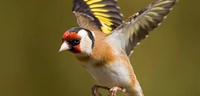 Saka Kuşlarının Bakımı ve Beslenmesi